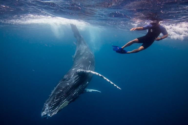 IMG-257122-Humpback-Whale-Tonga-Sebastian-Kennerknecht.JPG